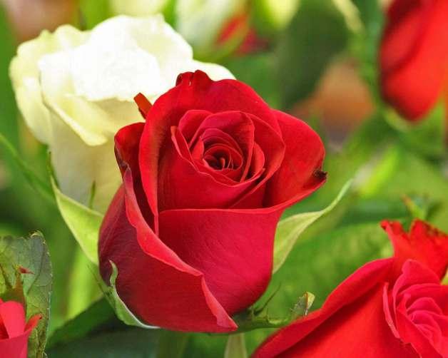 Бели и червени рози