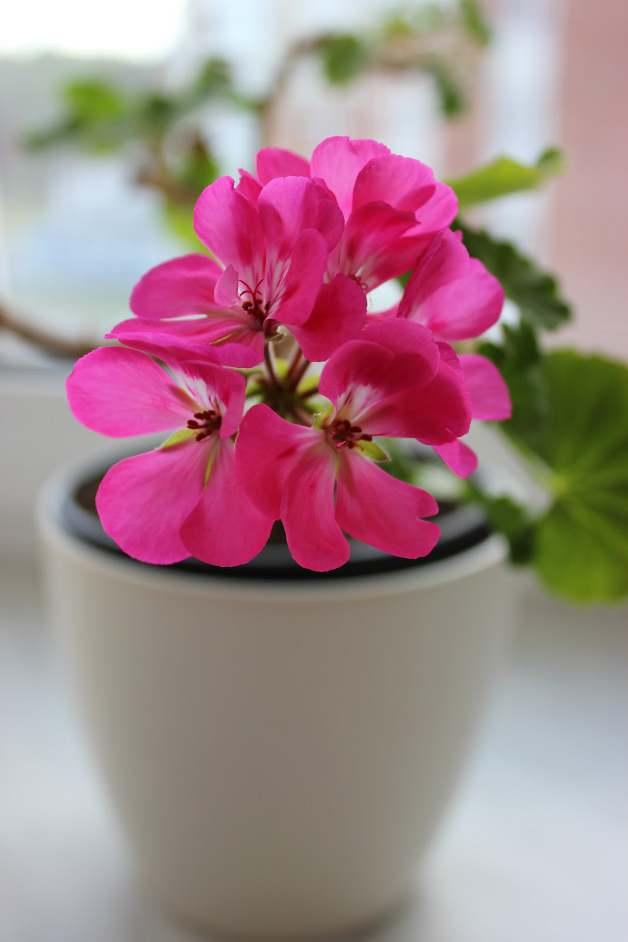 Розово мушкато