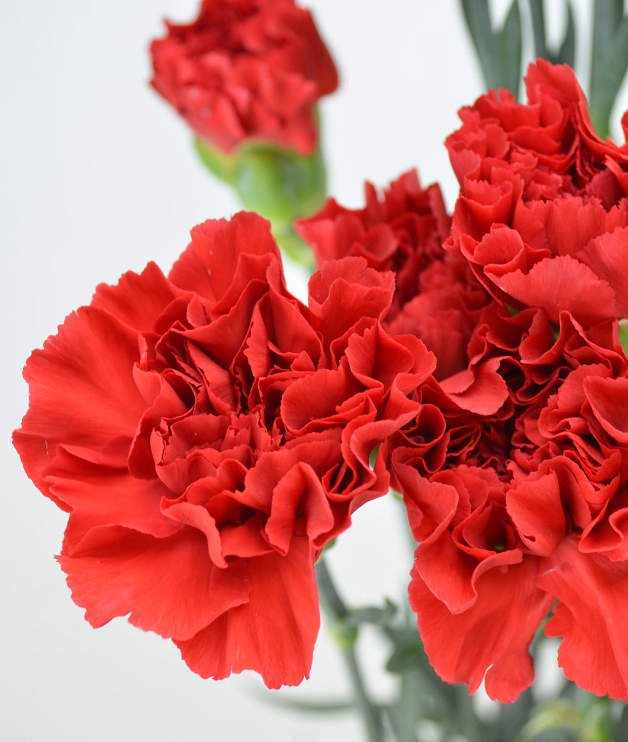 Червен карамфил