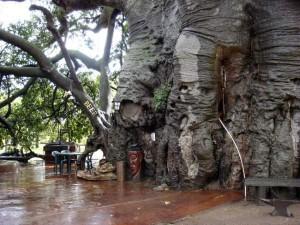 Baobab Tree Bar 3