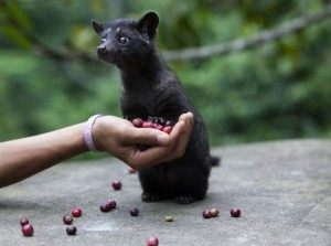Порода дива котка - Kopi Luwak