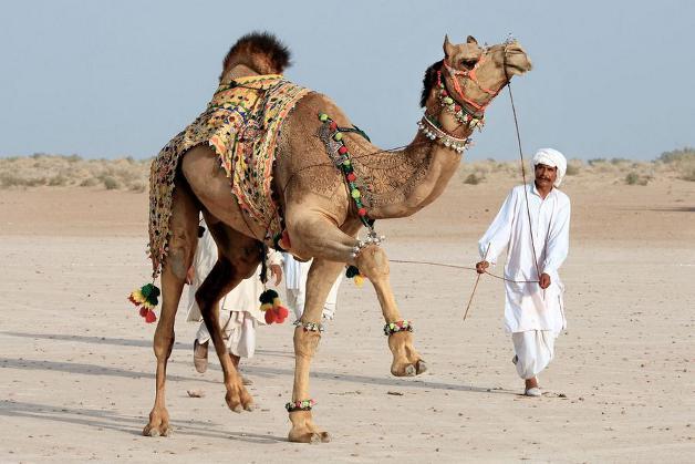 camel-22