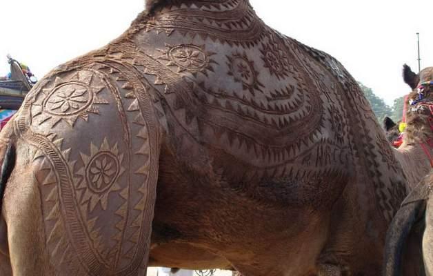 camel-24