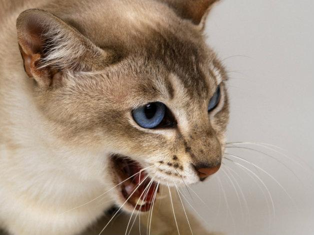 Изплашените котки са опасни