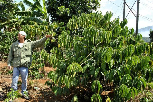 Височината на едно кафеено дърво