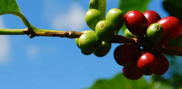 Кафени плодове
