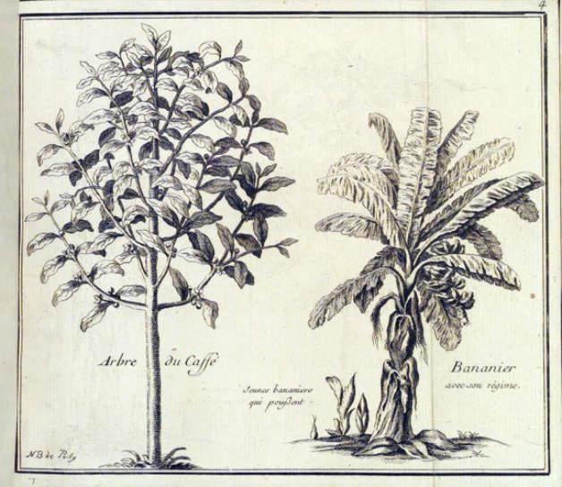 Изследователят Leonhard Rauwolf и описанието му на банановите палми и кафеените дървета