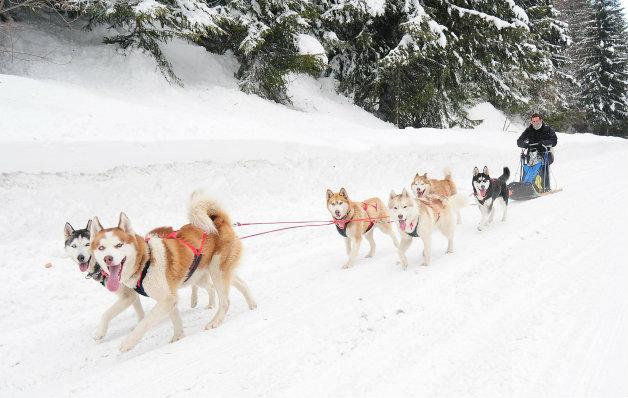 В Сибир и Аляска най-уважаваните кучета са Хъскитата