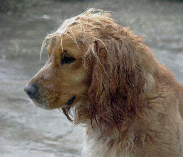Кучетата се страхуват от шума на дъжда, а не от мокротата му