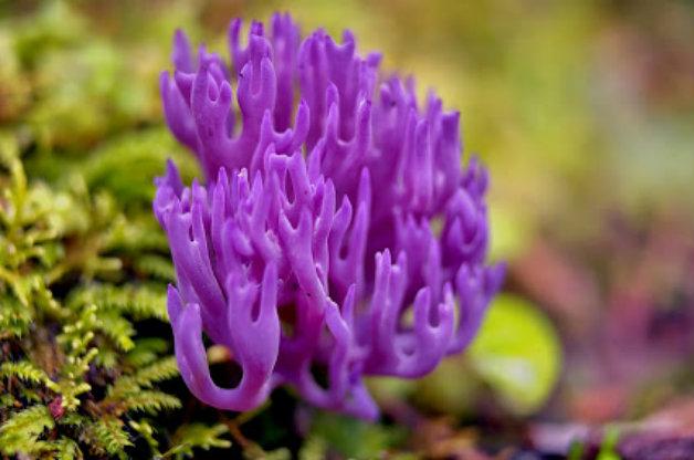 Виолетова коралка