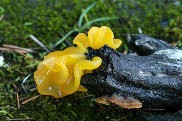 Жълта желирана гъба