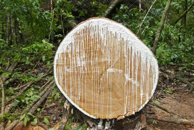 Млекодайно дърво