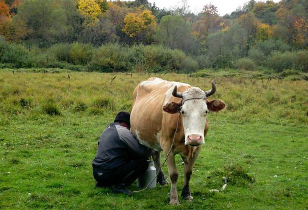 А вие доили ли сте някого крава?